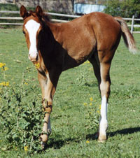 showtimefoal